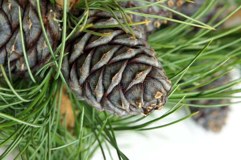 Branchement sibérien de pin avec des cônes image stock