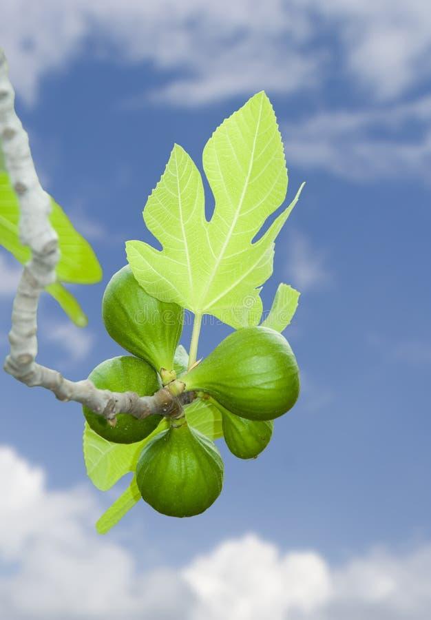 Branchement vert frais de figue dans le ciel image stock