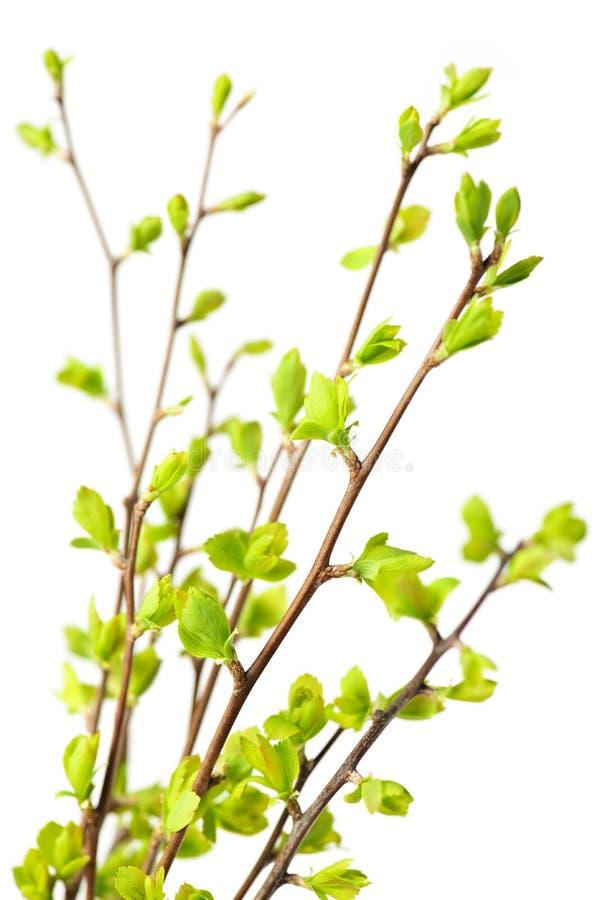 Branchements avec les lames vertes de source image stock
