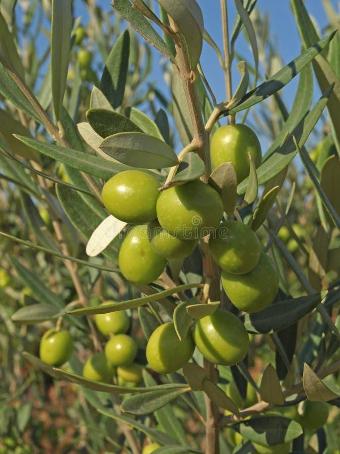 Branchements avec les olives vertes photos stock