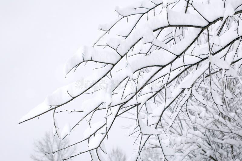 Branchements d'arbre couverts dans la neige image libre de droits