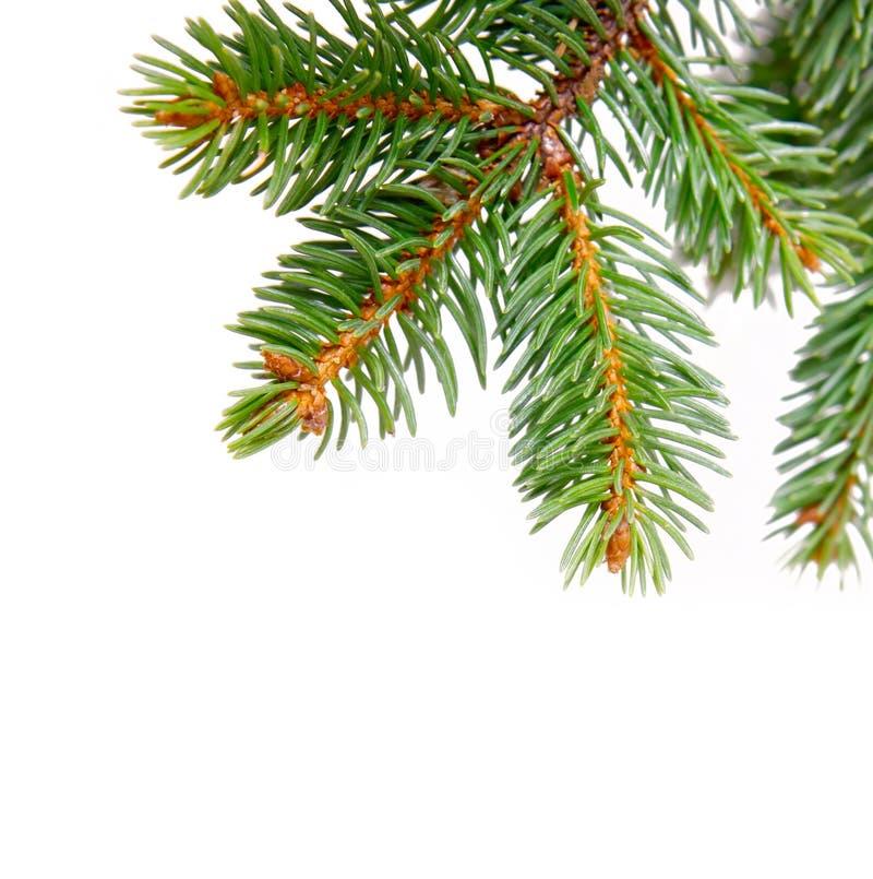 Branchements d'arbre de Noël photographie stock libre de droits