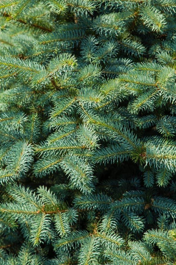 Branchements d'arbre de Noël photo stock