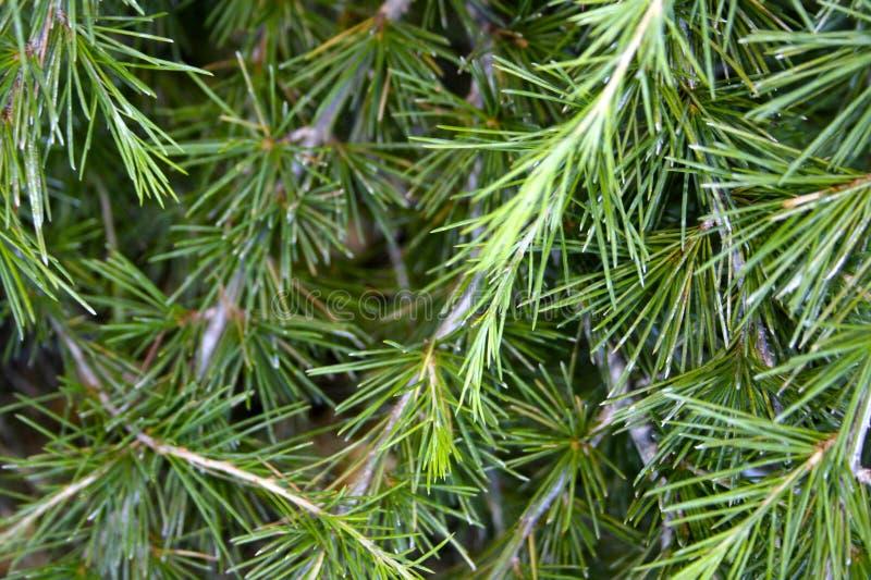 Branchements d'arbre de pin photo stock