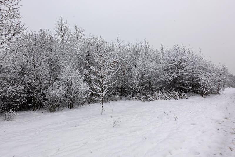 Branchements d'arbre Snow-covered Arbres dans la neige Jour givré d'hiver photos libres de droits