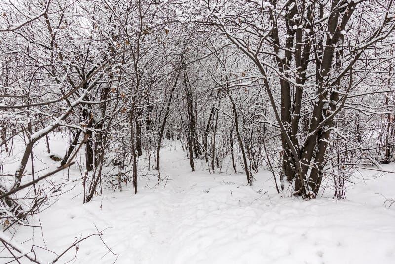 Branchements d'arbre Snow-covered Arbres dans la neige Jour givré d'hiver images libres de droits