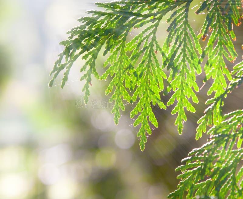Branchements de genévrier à la lumière du soleil photo stock