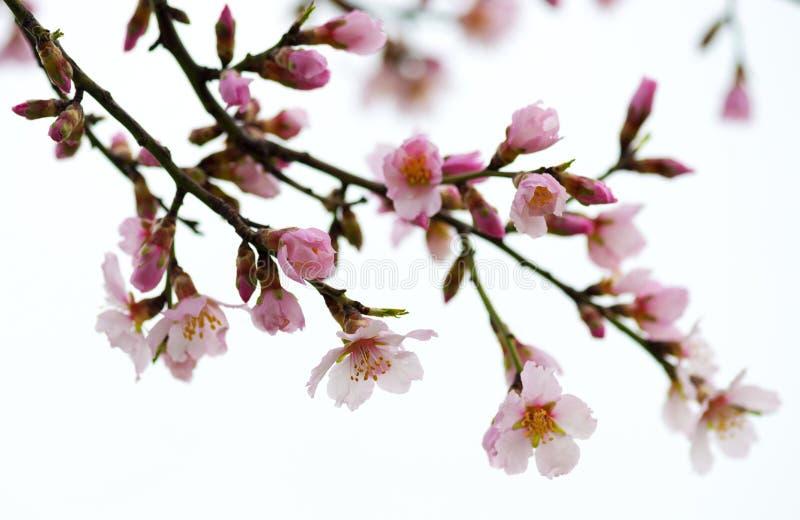 Branchements fleurissants de source Fleurs roses images stock