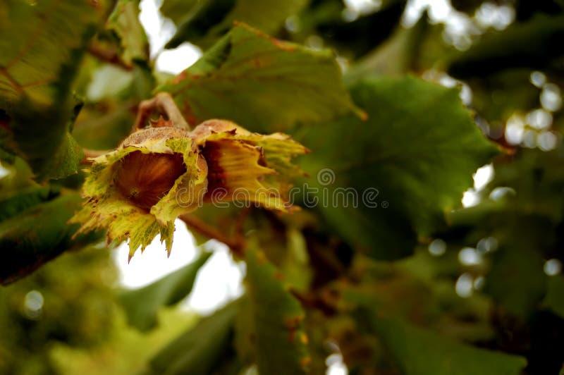 Branchements noisette avec des noix photos stock