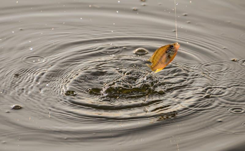 Brancher accroché de poissons en surface images stock