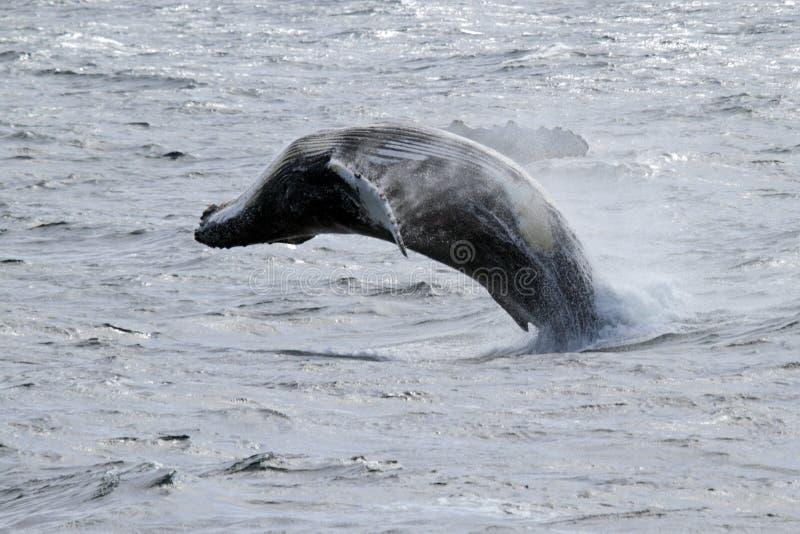 Brancher antarctique de baleine de bosse photographie stock libre de droits