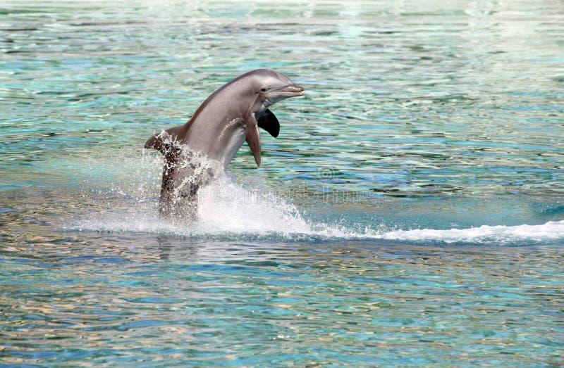 Brancher de dauphin images libres de droits