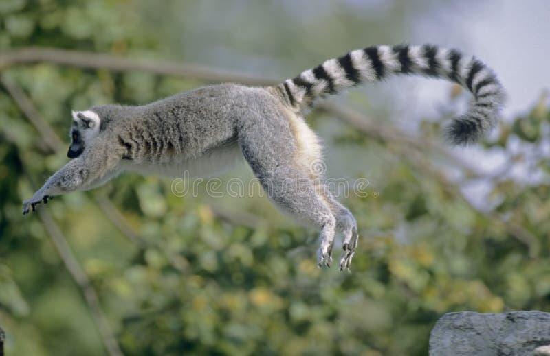 Brancher de Lemur Ring-tailed photographie stock