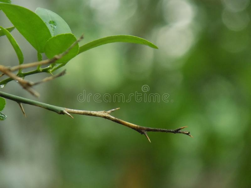 Branches épineuses de citron photos stock