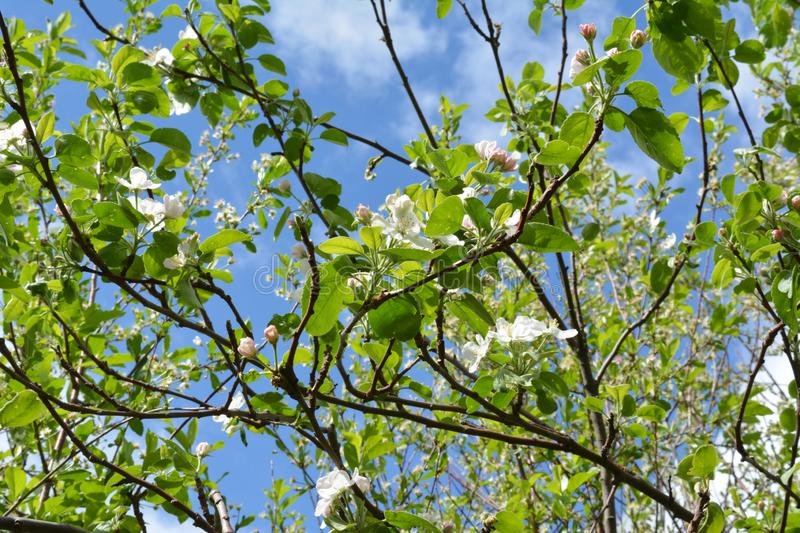 Branches of apple tree with beautiful flowers and young green leaves. royalty free stock image