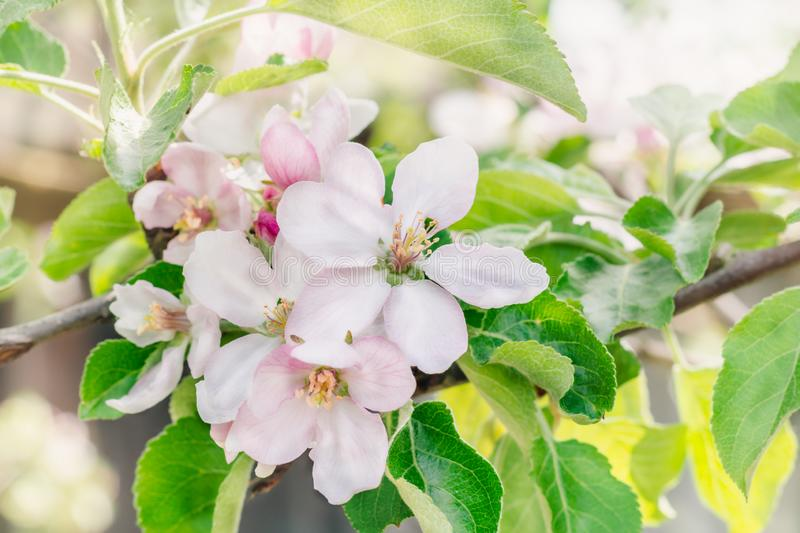 Branches of an apple tree with pink flowers in a flowering orchard on a spring sunny day royalty free stock photos