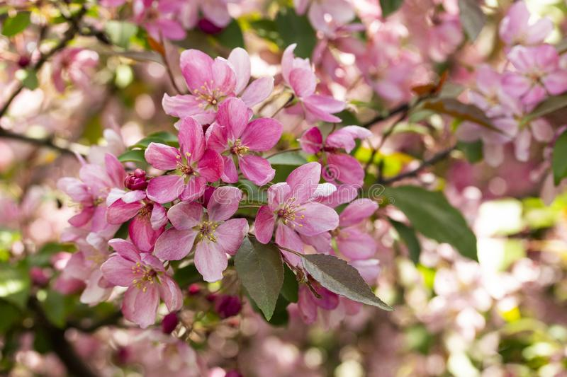 Branches of apples with bundle crab apple blossom pink flowers of spring blooming apple trees with leaves, close-up stock images