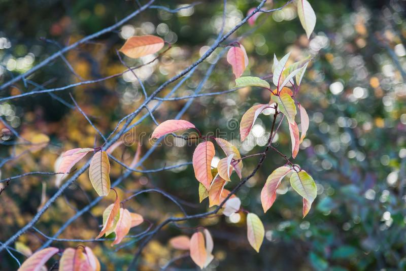 Branches with autumn leaves and sparkling sunlight full frame background. Close-up of branches with autumn leaves and sparkling bokeh in the background stock photography