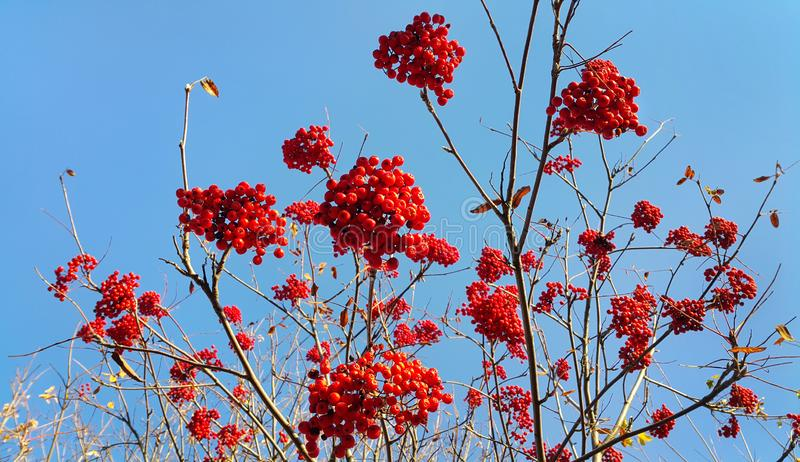 Branches of autumn mountain ash with bright red berries. Branches of aun mountain ash with bright red berries against the blue sky background royalty free stock photos