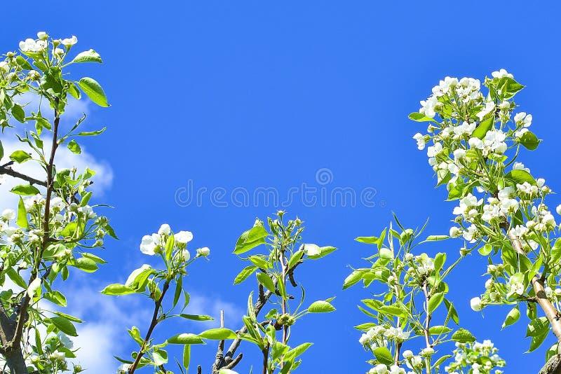 Branches avec des fleurs de pomme et des feuilles contre le ciel bleu Orientation molle photo stock