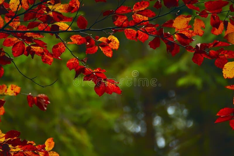 Branches avec le hêtre rouge de feuillage en automne image libre de droits