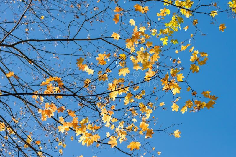 Branches avec les feuilles jaunes contre le ciel bleu photo stock