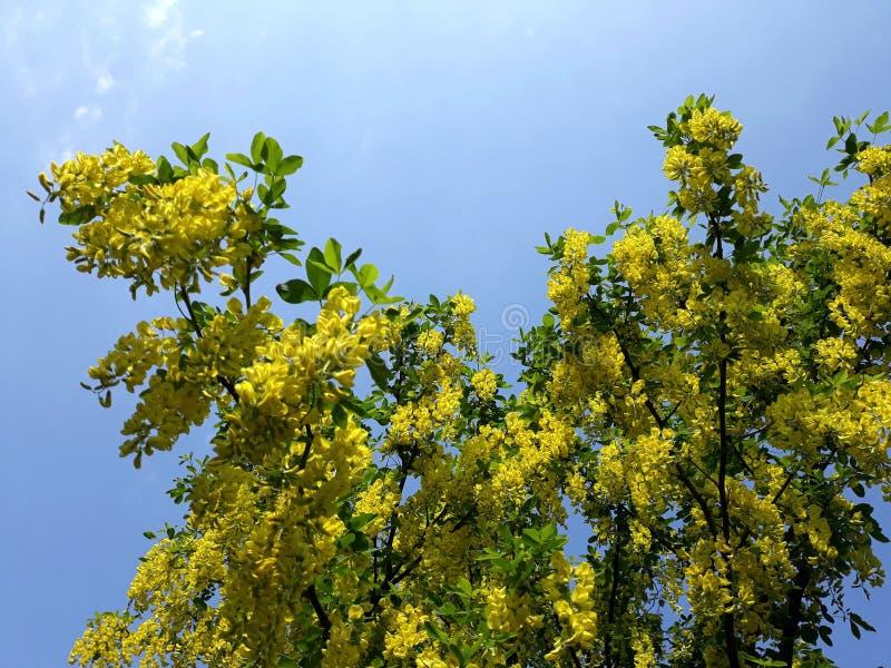 Branches avec les fleurs jaunes de la pluie à chaînes d'arbre d'Anagyroides de cytise ou d'or d'or contre le ciel bleu image libre de droits
