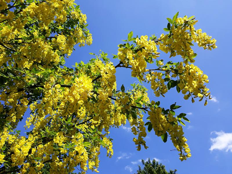 Branches avec les fleurs jaunes de la pluie à chaînes d'arbre d'Anagyroides de cytise ou d'or d'or contre le ciel bleu photos stock