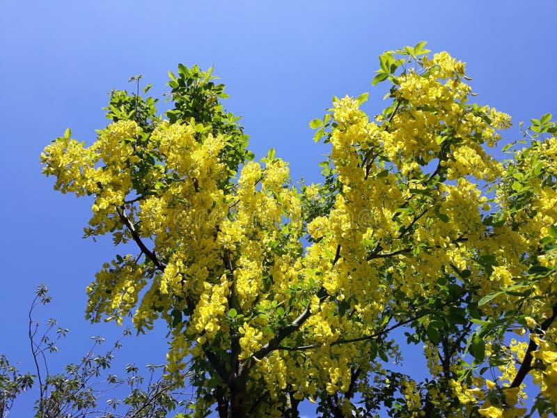 Branches avec les fleurs jaunes de la pluie à chaînes d'arbre d'Anagyroides de cytise ou d'or d'or contre le ciel bleu images stock