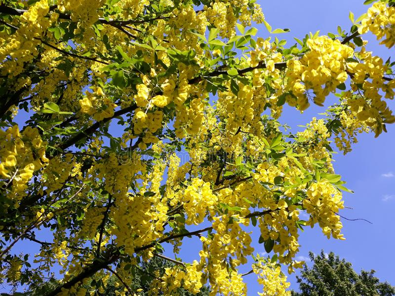 Branches avec les fleurs jaunes de la pluie à chaînes d'arbre d'Anagyroides de cytise ou d'or d'or contre le ciel bleu photographie stock libre de droits