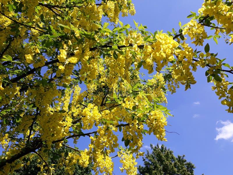 Branches avec les fleurs jaunes de la pluie à chaînes d'arbre d'Anagyroides de cytise ou d'or d'or contre le ciel bleu image stock