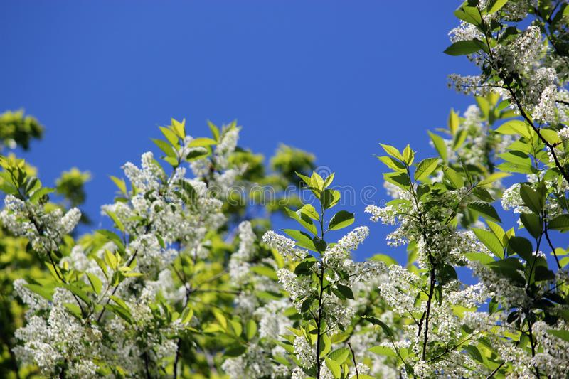 Branches with beautiful white flowers and green leaves of blooming bird-cherry tree stock photography