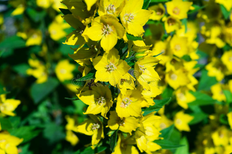 Branches with beautiful yellow flowers with petals and green leaves. stock images