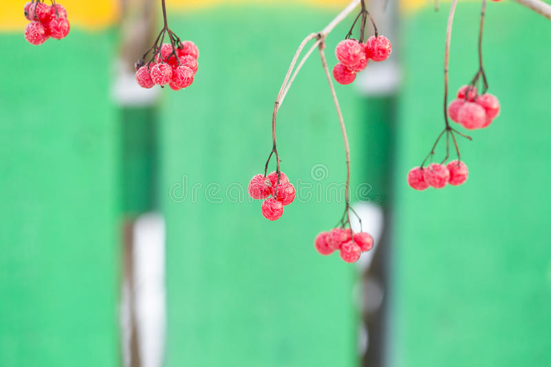 Branches and berries of frozen viburnum. Blured background.  stock image