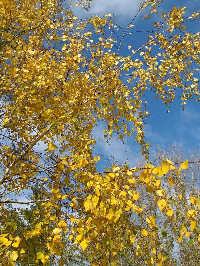 Branches birch, autumn colorful leaves, landscape stock photography