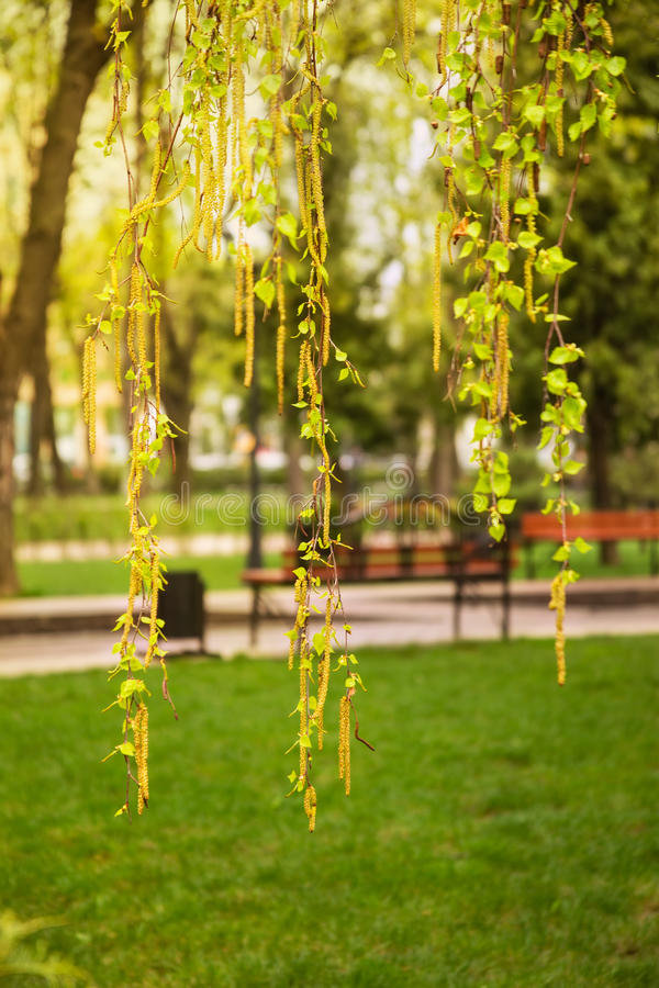 Download Branches Of Birch With Ear Rings And Young Leaves Stock Image - Image: 40202401