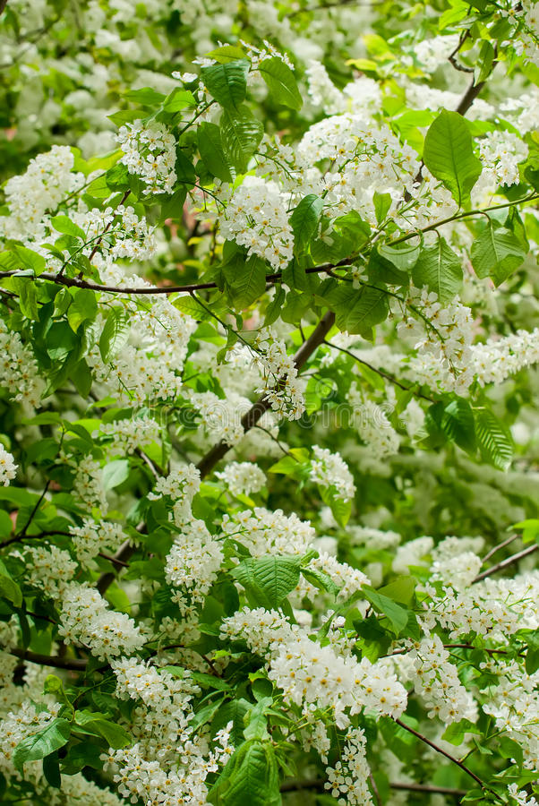 The branches bird cherry blossoms stock images