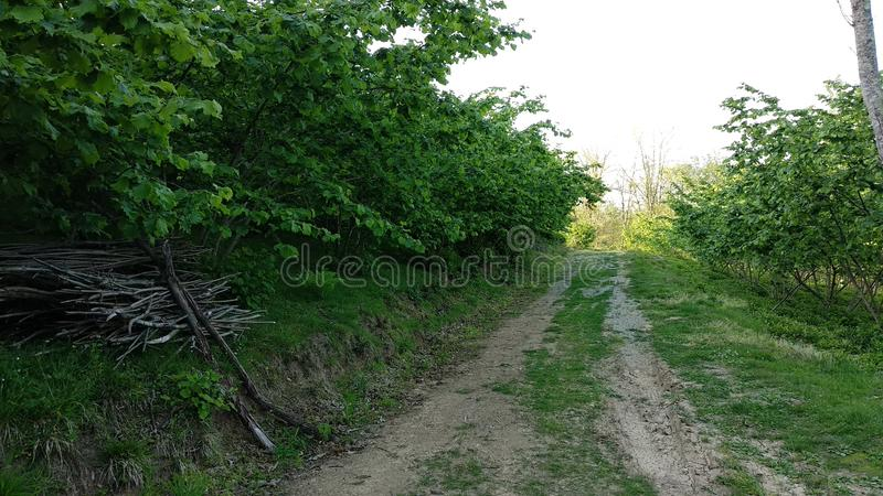 Branches bloomed among hazelnut trees. Walking among the trees with bloomed branches on a beautiful day royalty free stock photography