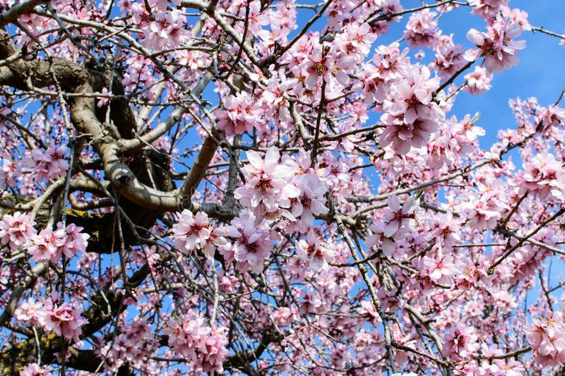 Branches of the blooming almond. Branches of the blooming almond in spring time in spain on the sky background royalty free stock photo