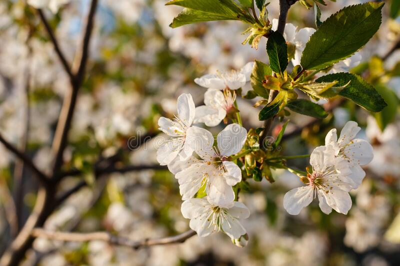 Branches of blooming cherry tree in a spring orchard. With blurred background royalty free stock images
