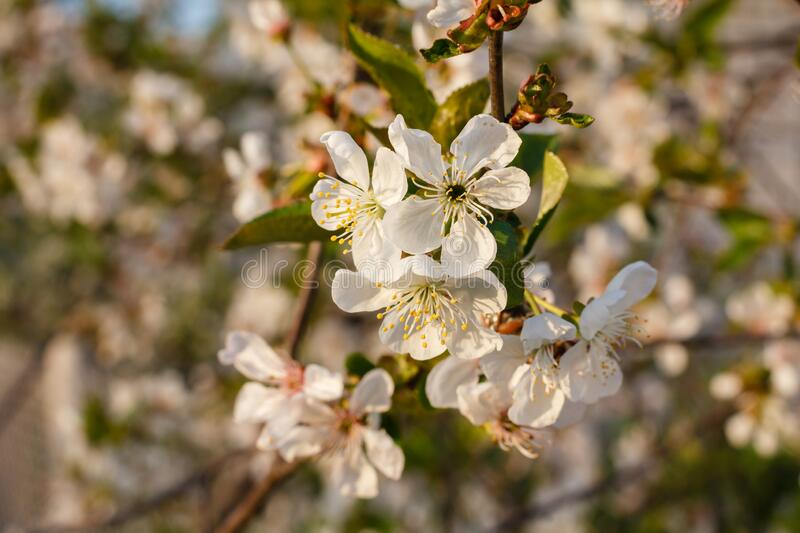 Branches of blooming cherry tree in a spring orchard. With blurred background royalty free stock image
