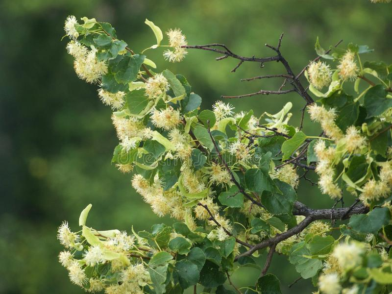 Branches of flowering linden. Branches of a blooming lime tree on a blurred background stock photos