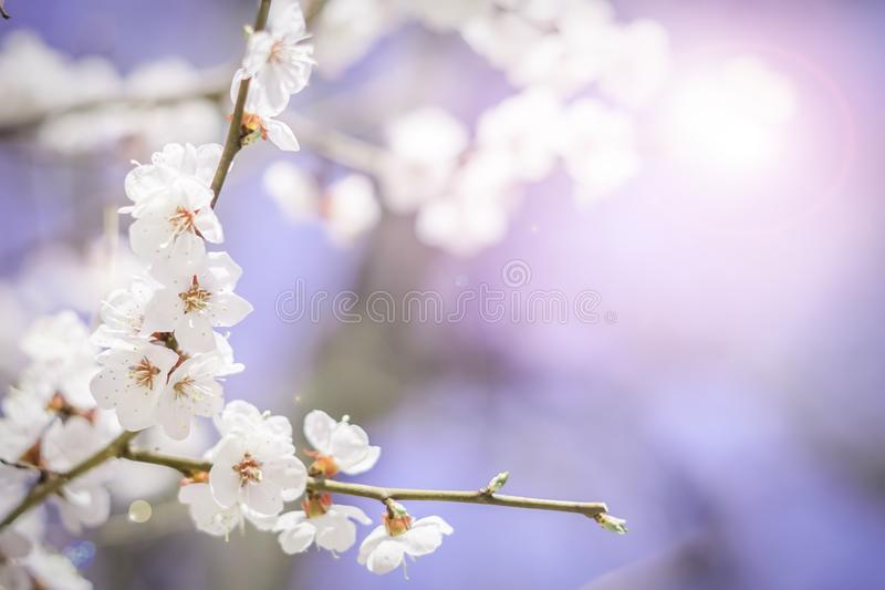 Branches of blooming sakura branches in spring. White flowers. Blue backgound. Postcard view stock photos