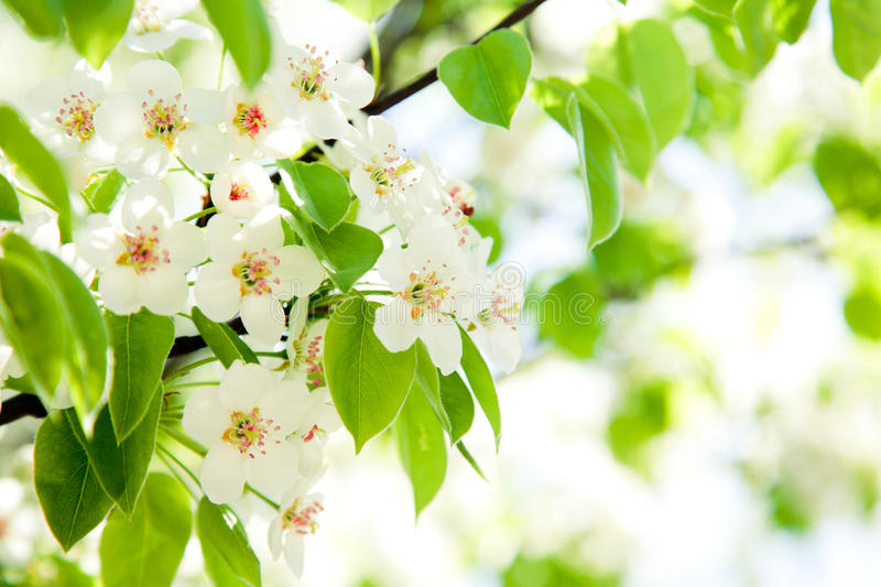 Download Branches Of A Blossoming Apple-tree Stock Image - Image: 19154059
