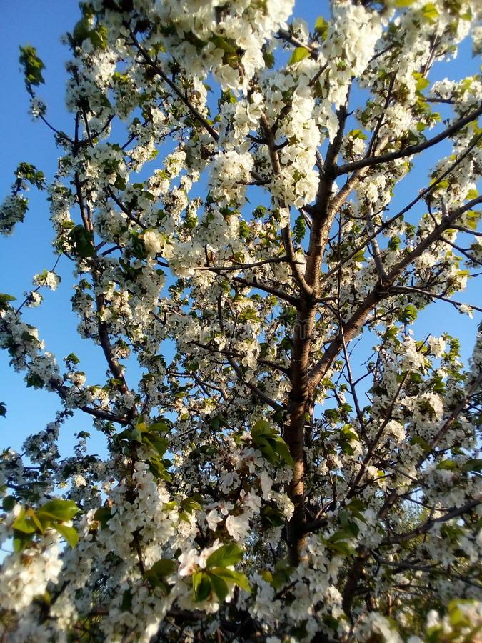Branches of a blossoming apple tree. The awakening of nature in the spring. The smell of honey, the blue sky and clean air. Quiet wind and whirring of bees royalty free stock photo