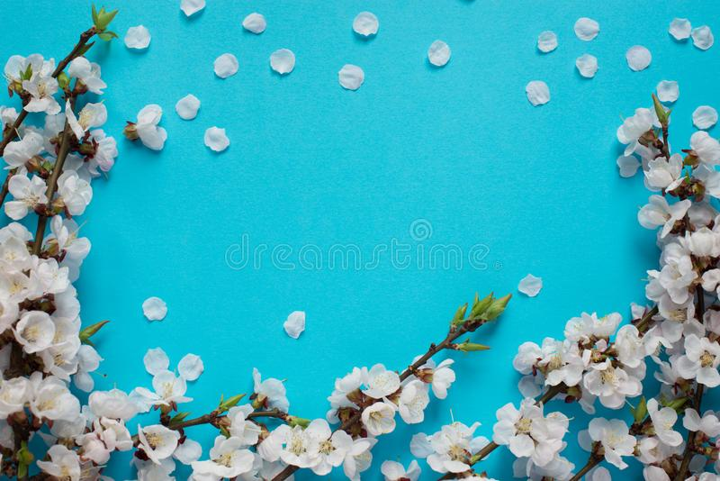 Branches of blossoming apricot with blue background. Spring flowers. Top view stock images