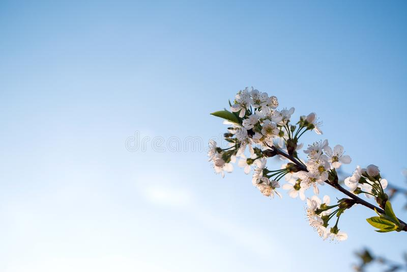 Branches of blossoming apricot on blue sky background. Easter and spring greeting cards concept. Copy space. Spring blooming tree royalty free stock image
