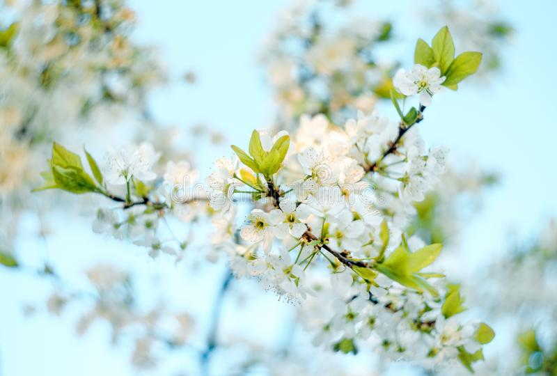 Branches of blossoming apricot macro with soft focus on blue sky background. For easter and spring greeting cards royalty free stock images