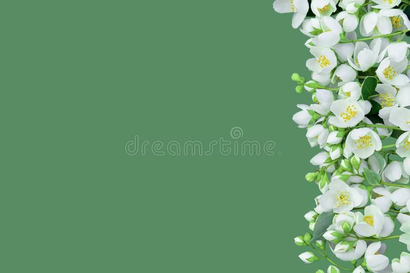 Branches of the blossoming jasmine are beautifully laid on the vertical party of a horizontal shot. It is isolated on a pastel gre. Branches of the blossoming stock photos