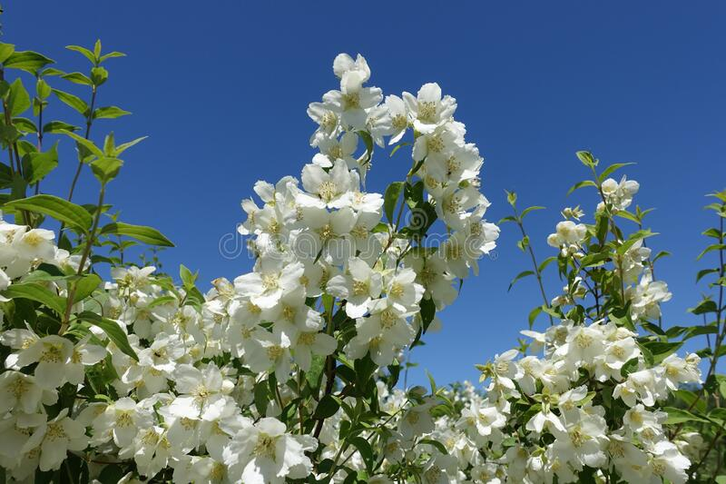 Branches of blossoming little leaf mock orange against blue sky. Branches of blossoming littleleaf mock orange against blue sky stock photos